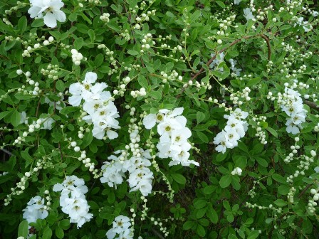 Gardenscapes by joanna fabulous flowering shrubs w it is noted for its outstanding display of pearl like flower buds in early spring followed by an abundant of white spring blooms on arching branches mightylinksfo